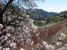 Llegando a los restos del monasterio de Scala Dei con almendros en flor